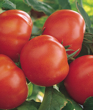 Tomato, Matina Organic 1 Pkt. (40 Seeds) Heirloom Tomatoes, Heirloom Tomato Seeds, Heirloom Seeds, Heirloom Tomato Plants, Tomato Seeds