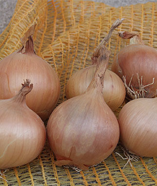 Onion, Sturon Organic 1 Pkt. (100 Seeds) Onion Seeds, Onion Sets, Onion Plants, Scallion Seeds, Bunching Onions, Green Onions, Garden Seeds