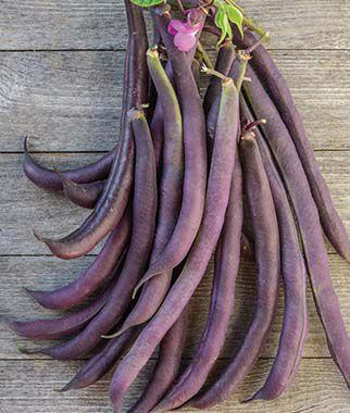 Bean, Bush, Royalty Purple Pod Organic 1 Pkt. (3/4 oz), Bean Seeds, Bush Beans, Beans - Bush, Bush Bean Seeds, Vegetable Seeds, Garden Seeds, Vegetable Seed