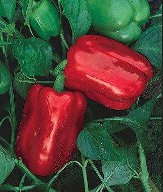 Pepper, Sweet, Chinese Giant Organic 1 Pkt. (20 Seeds) Pepper Seeds, Sweet Pepper Seeds, Stuffing Peppers, Bell Peppers, Sweet Peppers, Bell Pepper Seeds
