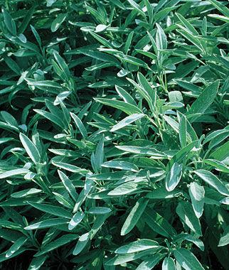Herb, Sage 1 Plant Sage Seeds, Sage Plants, Sage, Garden Sage, Herb Seeds, Herb Plants, Herbs, Garden Seed, Herb Garden