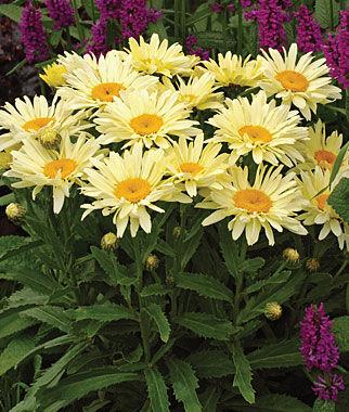 Shasta Daisy, Banana Cream 1 Plant Perennial, Perennial Flowers, Perennial Flower Plants, Perennial Plants, Flower Plants, Flowers
