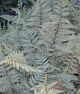 Athyrium, Ghost 1 Plant Perennial, Perennial Flowers, Perennial Flower Plants, Perennial Plants, Flower Plants, Flowers