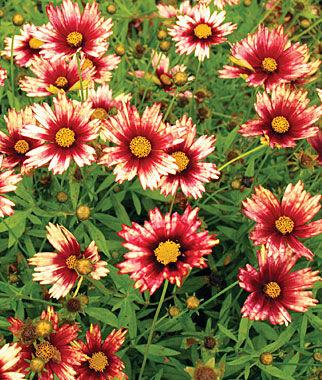 Coreopsis, Redshift 1 Plant Perennial, Perennial Flowers, Perennial Flower Plants, Perennial Plants, Flower Plants, Flowers