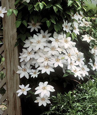 White flowering perennials full sun choice image flower decoration the garden oracle perennial flower plants page 1 gardening clematis henryi white 1 plant perennial perennial mightylinksfo