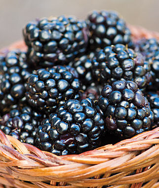 Blackberry, Prime-Ark45 5 Bare Root Plants Blackberry, Blackberries, Blackberry Plants, Blackberry Roots, Blackberry Starts, Berry Plants
