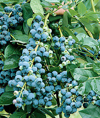 Blueberry, Jersey 1 Plant Blueberry Plants, Blueberries, Berry Plants, Fruit Plants, Fruit Garden, Berry Garden, Garden Plants