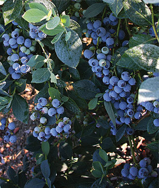 Blueberry, Misty 1 Plant Blueberry Plants, Blueberries, Berry Plants, Fruit Plants, Fruit Garden, Berry Garden, Garden Plants