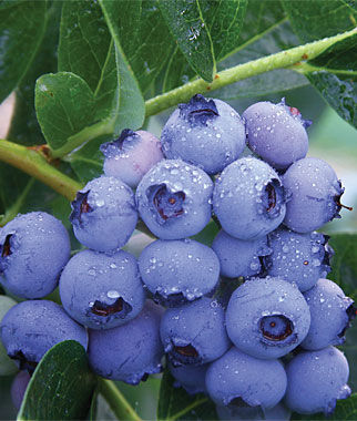 Blueberry, Patriot 1 Plant Blueberry Plants, Blueberries, Berry Plants, Fruit Plants, Fruit Garden, Berry Garden, Garden Plants