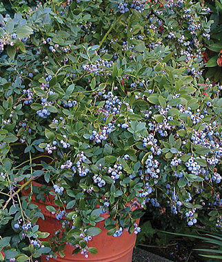Blueberry, Sunshine Blue 1 Plant Blueberry Plants, Blueberries, Berry Plants, Fruit Plants, Fruit Garden, Berry Garden, Garden Plants