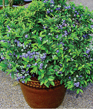 Blueberry, Top Hat 1 Plant Blueberry Plants, Blueberries, Berry Plants, Fruit Plants, Fruit Garden, Berry Garden, Garden Plants