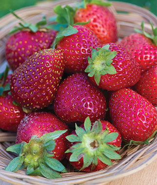 Strawberry, Elan F1 1 Plant Strawberries, Strawberry Plants, Strawberry Starts, Strawberry Roots, Strawberry, Garden Plants