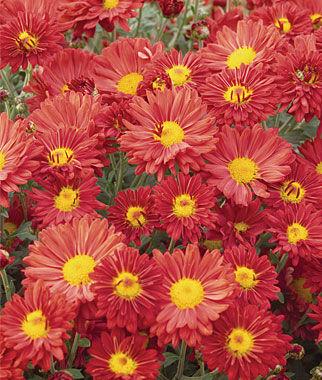 Garden Mum, Mammoth Daisy Bronze 1 plant Perennial, Perennial Flowers, Perennial Flower Plants, Perennial Plants, Flower Plants, Flowers