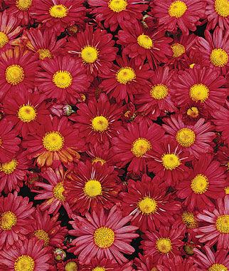 Garden Mum, Mammoth Daisy Red 1 plant Perennial, Perennial Flowers, Perennial Flower Plants, Perennial Plants, Flower Plants, Flowers