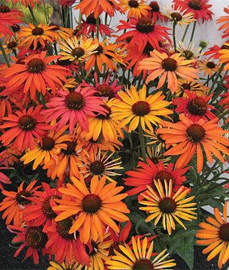 Echinacea, Hot Summer 1 plant Perennial, Perennial Flowers, Perennial Flower Plants, Perennial Plants, Flower Plants, Flowers