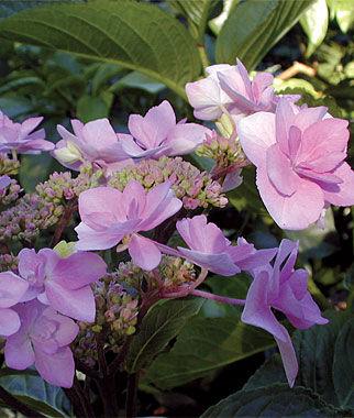 Hydrangea, Jogasaki 1 plant Perennial, Perennial Flowers, Perennial Flower Plants, Perennial Plants, Flower Plants, Flowers