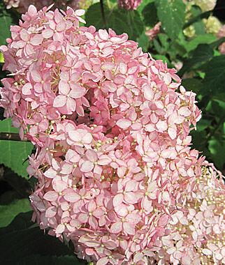 Hydrangea, Invincibelle Spirit 1 plant Perennial, Perennial Flowers, Perennial Flower Plants, Perennial Plants, Flower Plants, Flowers