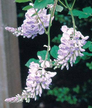 Wisteria, Blue Moon 1 plant Perennial, Perennial Flowers, Perennial Flower Plants, Perennial Plants, Flower Plants, Flowers