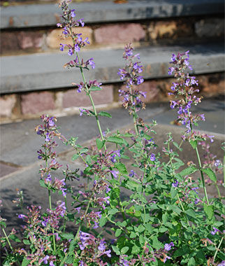 Nepeta, Walker's Low 1 plant Perennial, Perennial Flowers, Perennial Flower Plants, Perennial Plants, Flower Plants, Flowers