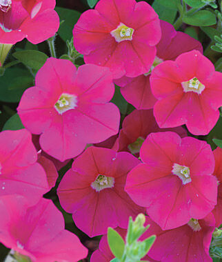 Petunia, Shock Wave Coral Crush 1 Seed Pkt. (10 pellets) Annuals, Annual, Annual Flowers, Annual Flower Seeds, Seeds, Flower Seeds, Cottage Garden Flowers