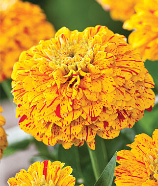 Zinnia, Pop Art Red and Yellow 1 Pkt. (50 seeds) Annuals, Annual, Annual Flowers, Annual Flower Seeds, Seeds, Flower Seeds, Cottage Garden Flowers