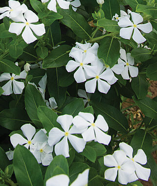 Vinca, Merry Go Round White 1 order (6 plants) Annuals, Annual Flowers, Annual Flower Plants, Flower Plants, Flowering Annuals, Bedding Plants