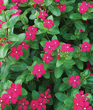 Vinca, Merry Go Round Red 1 Order (6 plants) Annuals, Annual Flowers, Annual Flower Plants, Flower Plants, Flowering Annuals, Bedding Plants