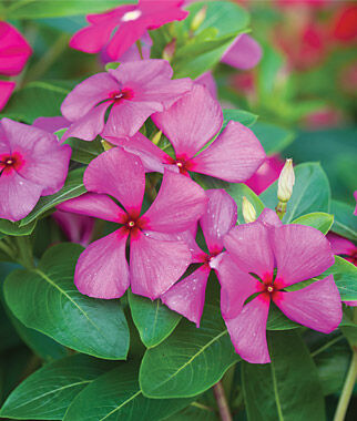 Vinca, Merry Go Round Grape 1 Order (6 plants) Annuals, Annual Flowers, Annual Flower Plants, Flower Plants, Flowering Annuals, Bedding Plants