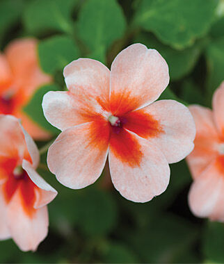 Impatiens, Salmon Splash 1 Order (12 plants) Annuals, Annual Flowers, Annual Flower Plants, Flower Plants, Flowering Annuals, Bedding Plants