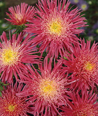 Aster, Salmon Red 1 Pkt (100 seeds) Annuals, Annual, Annual Flowers, Annual Flower Seeds, Seeds, Flower Seeds, Cottage Garden Flowers
