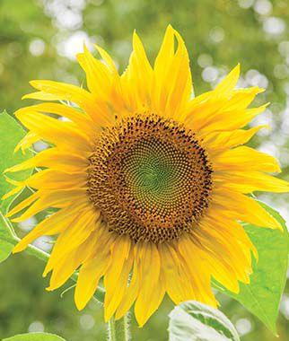 Sunflower, Pikes Peak 1 Pkt (20 seeds) Annuals, Annual, Annual Flowers, Annual Flower Seeds, Seeds, Flower Seeds, Cottage Garden Flowers