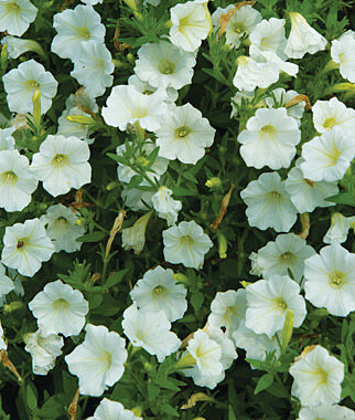 Petunia, Shock Wave Coconut 1 Order (6 plants) Annuals, Annual Flowers, Annual Flower Plants, Flower Plants, Flowering Annuals, Bedding Plants
