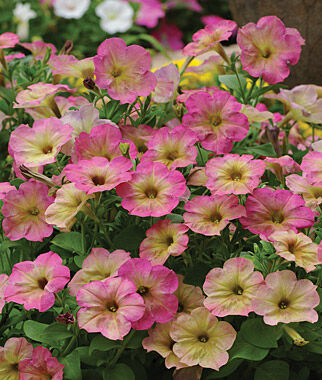 Petunia, Dusty Rose Hybrid 1 Order (6 plants) Annuals, Annual Flowers, Annual Flower Plants, Flower Plants, Flowering Annuals, Bedding Plants