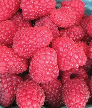 Raspberry, Encore PP 11,746 5 Bare Root Plants Raspberries, Raspberry, Raspberry Plants, Raspberry Roots, Berry Plants, Berry Garden, Fruit Garden