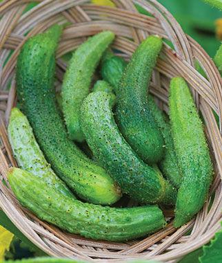 Cucumber, Parisian 1 Pkt. (30 Seeds)