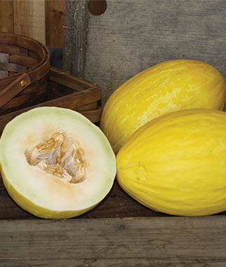 Melon, Canary, Spanish Sun Hybrid 1 Pkt. (30 Seeds)