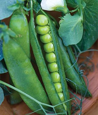 Pea, Easy Peasy 1 Pkt. (200 Seeds) Pea Seeds, Peas Seed, Pea Seeds, Peas, Garden Peas, Garden Seeds, Vegetable Seeds, Garden Supplies
