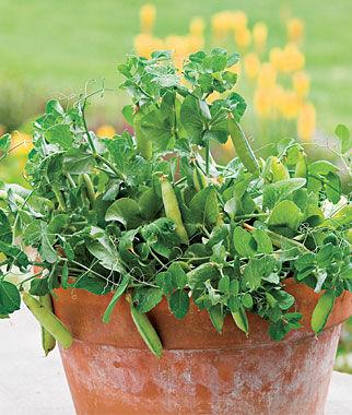 Pea, Peas-in-a-Pot 1 Pkt. (200 Seeds) Pea Seeds, Peas Seed, Pea Seeds, Peas, Garden Peas, Garden Seeds, Vegetable Seeds, Garden Supplies