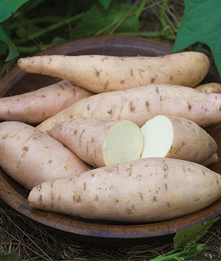 Sweet Potato, Bonita 1 Pack (12 Bareroots) Sweet Potato Roots, Sweet Potato, Sweet Potatoes, Sweetpotato, Garden Seeds, Vegetable Seeds, Garden