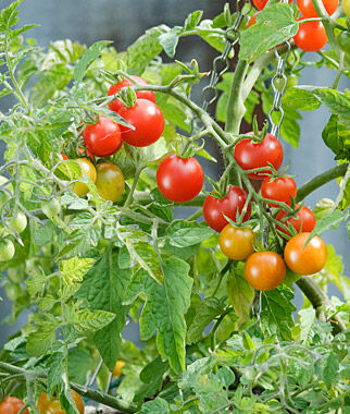 Tomato, Lizzano Hybrid 1 Pkt. (10 Seeds) Cherry Tomato Seeds, Currant Tomato Seeds, Grape Tomato Seeds, Cherry Tomato, Tomato Seeds