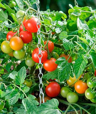 Tomato, Terenzo Hybrid 1 Pkt. (10 Seeds) Cherry Tomato Seeds, Currant Tomato Seeds, Grape Tomato Seeds, Cherry Tomato, Tomato Seeds