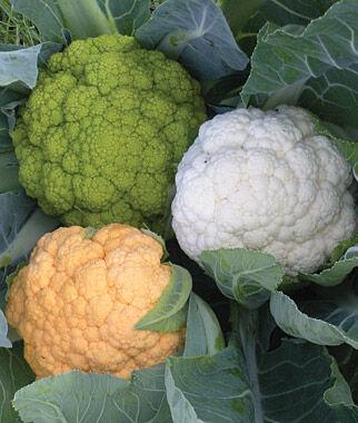 Cauliflower, Healthy Mix 1 Pkt. (30 Seeds) Cauliflower Seeds, Cauliflower Seed, Cauliflower, Garden Seeds, Vegetable Seeds, Garden Supplies