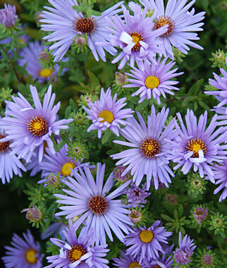 Aster, Raydon's Favorite 1 plant Perennial, Perennial Flowers, Perennial Flower Plants, Perennial Plants, Flower Plants, Flowers