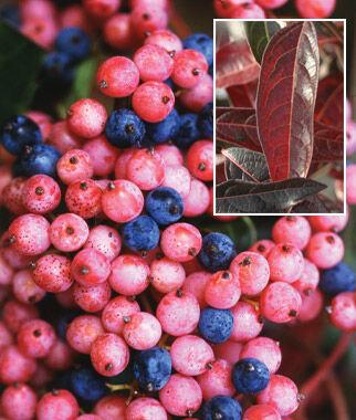 Viburnum, Brandywine 1 plant Perennial, Perennial Flowers, Perennial Flower Plants, Perennial Plants, Flower Plants, Flowers
