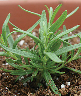 Rosemary, Barbeque 3 Plants, Rosemary Seeds, Rosemary Plants, Rosemary Starts, Rosemary, Herb Seeds, Herb Plants, Garden Seeds