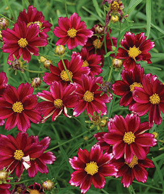 Coreopsis, Mercury Rising 1 Plant Perennial, Perennial Flowers, Perennial Flower Plants, Perennial Plants, Flower Plants, Flowers