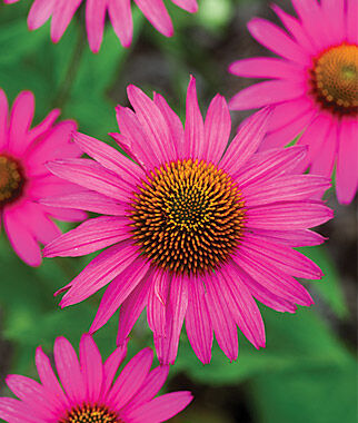 Echinacea, Pink Shimmer 1 Plant Perennial, Perennial Flowers, Perennial Flower Plants, Perennial Plants, Flower Plants, Flowers