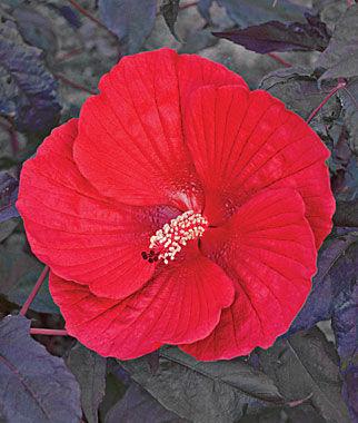 Hibiscus, Midnight Marvel 1 Plant Perennial, Perennial Flowers, Perennial Flower Plants, Perennial Plants, Flower Plants, Flowers