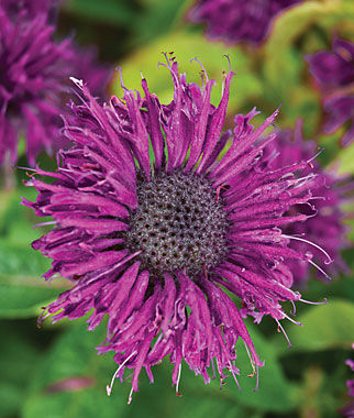 Monarda didyma, Purple Rooster 1 Plant Perennial, Perennial Flowers, Perennial Flower Plants, Perennial Plants, Flower Plants, Flowers
