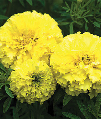 Marigold, Key Lime 1 Pkt. (50 Seeds) Annuals, Annual, Annual Flowers, Annual Flower Seeds, Seeds, Flower Seeds, Cottage Garden Flowers